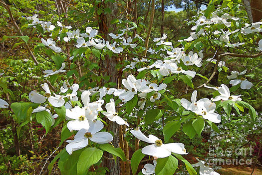 Dogwood by Russell Christie
