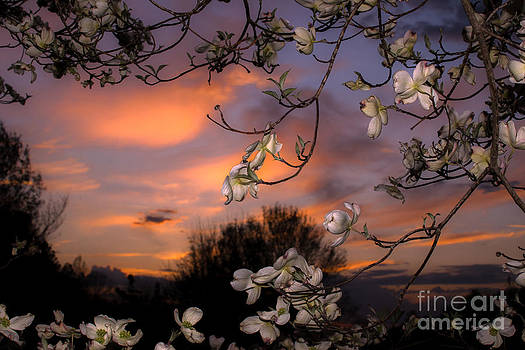Dogwood sunset. by Itai Minovitz