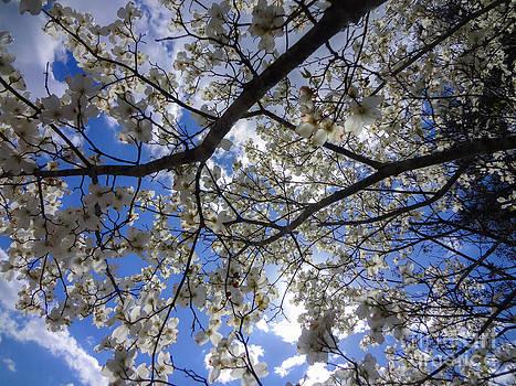 Ginette Callaway - Dogwood Tree Blue Sky Spring in Georgia