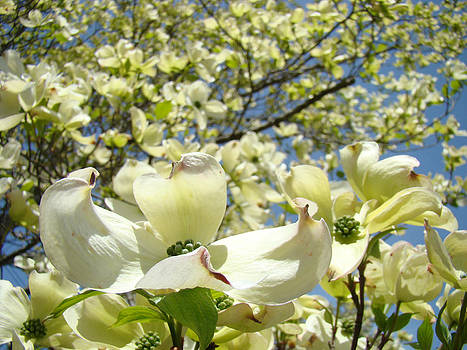 Baslee Troutman - Dogwood Tree Flowering Art Prints Spring White Dogwoods