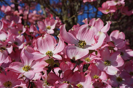 Baslee Troutman - Dogwood Tree Flowers Art Prints Floral