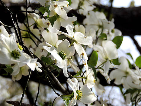 Dogwoods in the Spring by Kim Pate