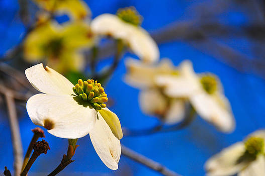 Dogwoods Look Toward The Sun by Rachel E Moniz