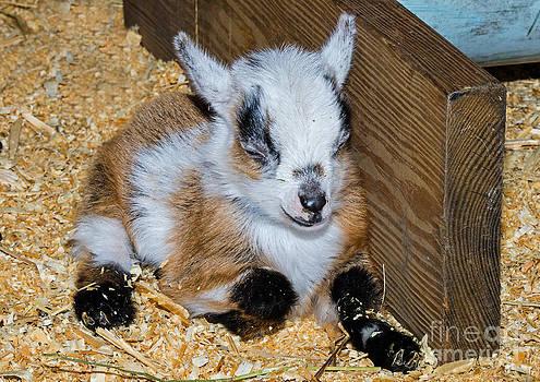 Millard H Sharp - Domestic Baby Goat Resting