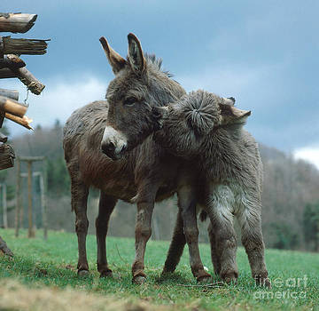 Hans Reinhard - Donkeys