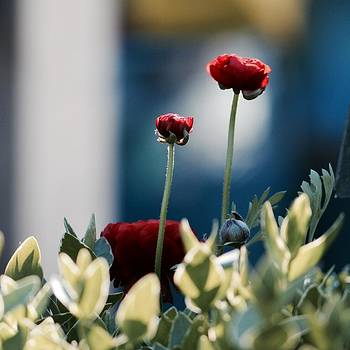 Don't Be Ranunculus by Penni D'Aulerio