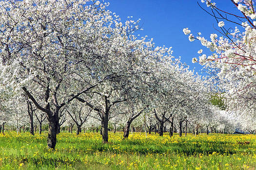 Christopher Arndt - Door County Cherry Blossoms