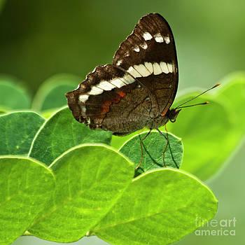 Heiko Koehrer-Wagner - Doris longwing butterfly