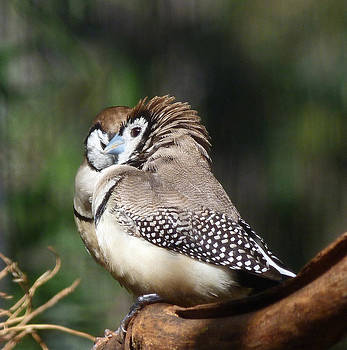 Margaret Saheed - Double-barred Finch Tete-a-tete