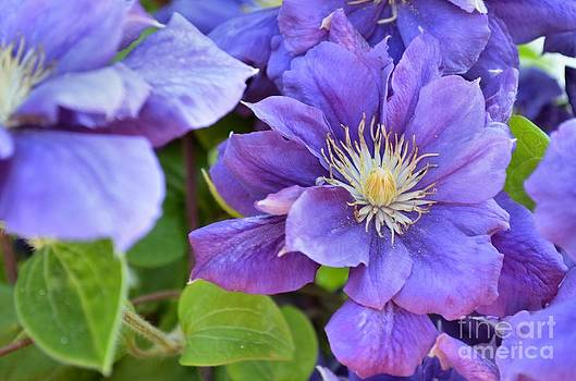 Double Clematis by Shauna Fackler