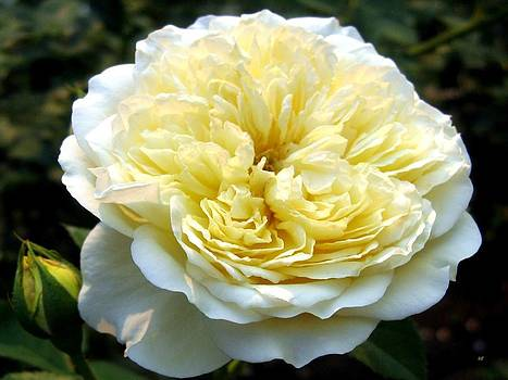 Double Cream Rose by Will Borden