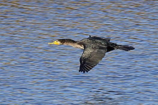 Double-crested Cormorant in Flight by Dora Korzuchowska