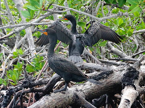 Double-Crested Cormorants by Frederic BONNEAU Photography