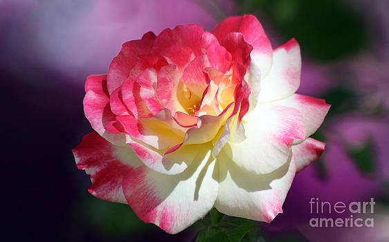 Double Delight Rose by Denise Woldring