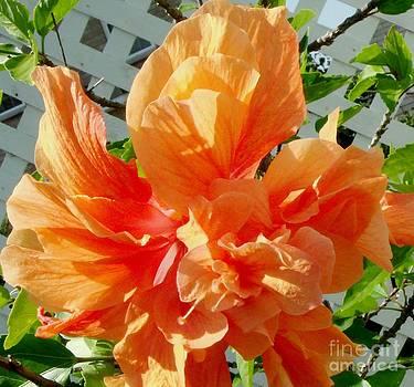 Gail Matthews - Double Hibiscus so Peachy
