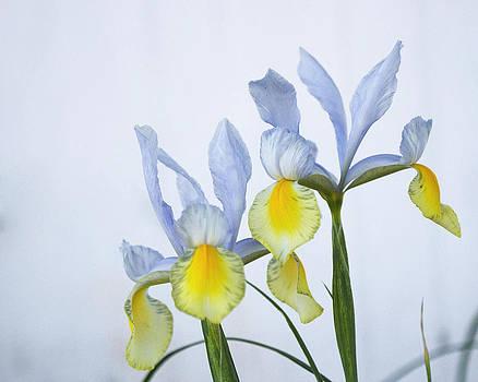 Guy Shultz - Double Iris