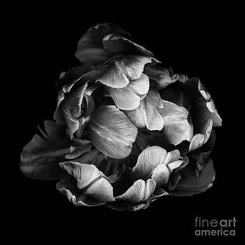 Oscar Gutierrez - Double tulip