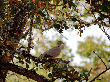Dove in Autumn Oak Tree Lower Lake CA by G Matthew Laughton