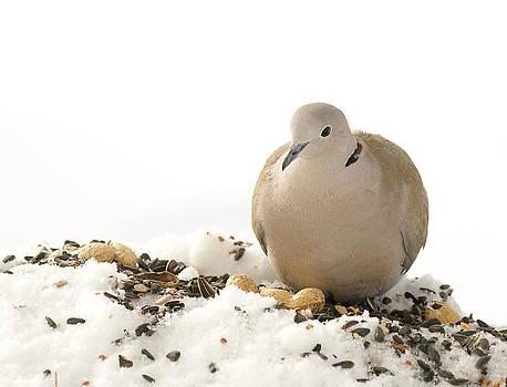 Dove by Marty Maynard