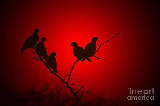Hermanus A Alberts - Dove Peaceful Red Sunset