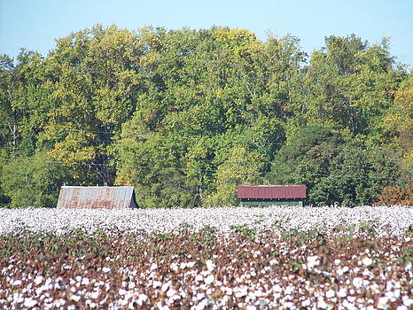 Downhome Cotton Field by Kevin Croitz