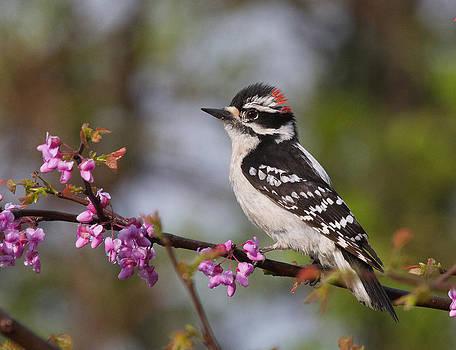 Downy Woodpecker on Redbud by Diane Porter