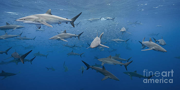 dozens of pelagic Silky Sharks feeding on baitfish in tropical Mexican waters by Brandon Cole