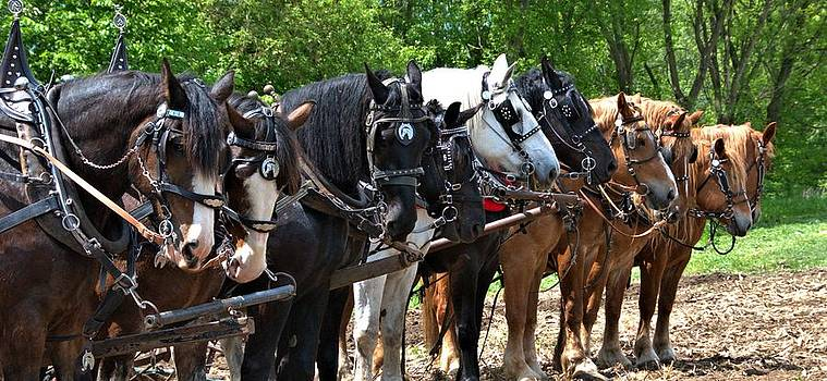 Valerie Kirkwood - Draft Horses All In A Row