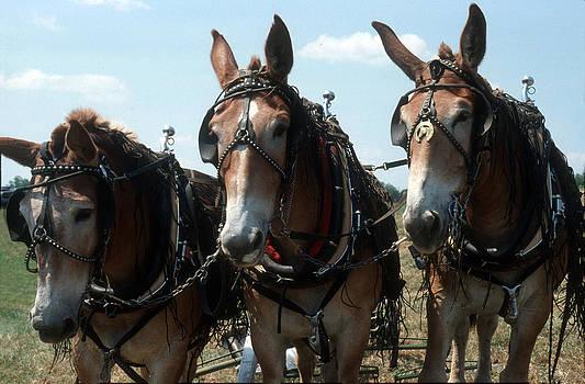 Harold E McCray - Draft Horses and Mules