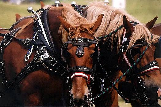 Draft Horses In Harness  by Olde Time  Mercantile