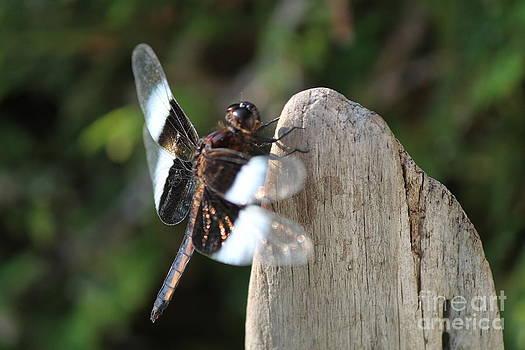 Dragon fly 2 by Danielle Bedard