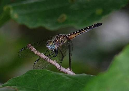 Dragon Fly 2013 by Robert Morin