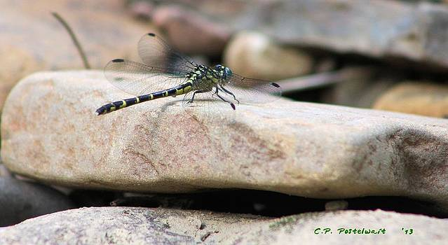 Dragon Fly by Carolyn Postelwait