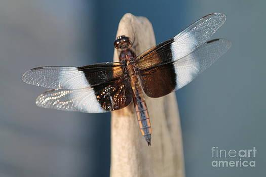 Dragon fly by Danielle Bedard