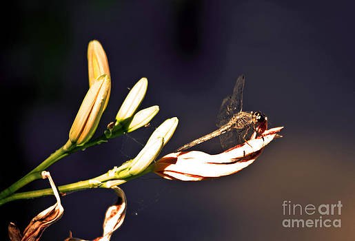 Dragon Fly by Fred L Gardner