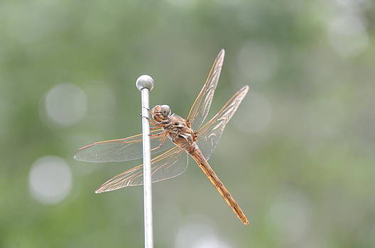 Dragon Fly Love by Larry Van Valkenburgh