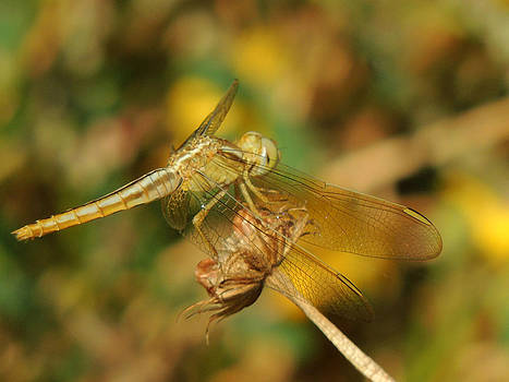 Dragon Fly by Ramesh Chand