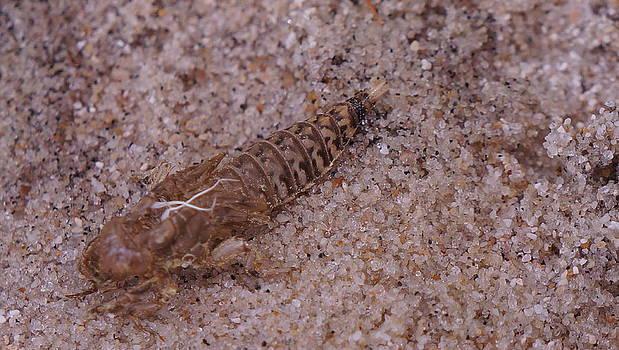 Dawn Hagar - Dragon fly shell