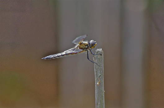 Dragon Fly by Tom Salt