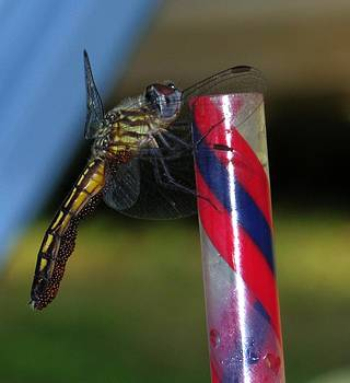 Dragon Fly with Eggs - 1 by Robert Morin