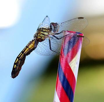 Dragon Fly with Eggs - 2 by Robert Morin