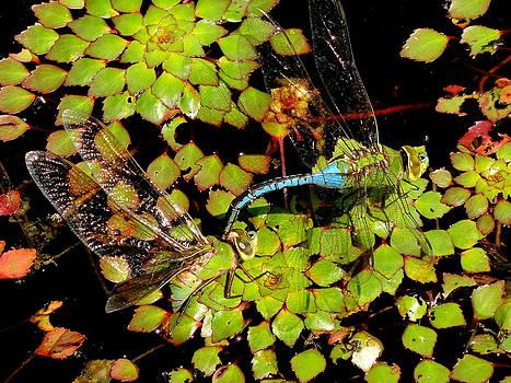 Dragonflies by Michael Rudolf
