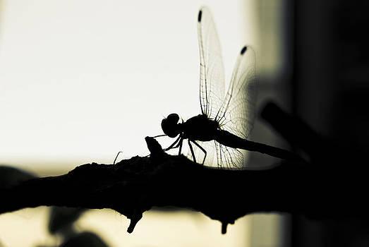 Dragonfly 01 by Grebo Gray