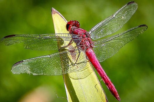 Dragonfly-1 by Fabio Giannini
