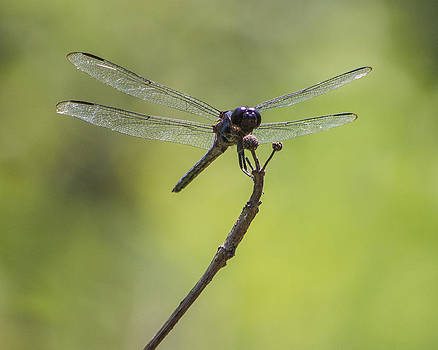 Dragonfly 2 by Derek Reichert