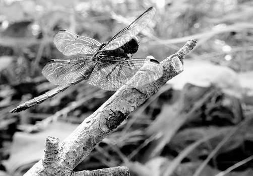 Sarah Pemberton - Dragonfly 3