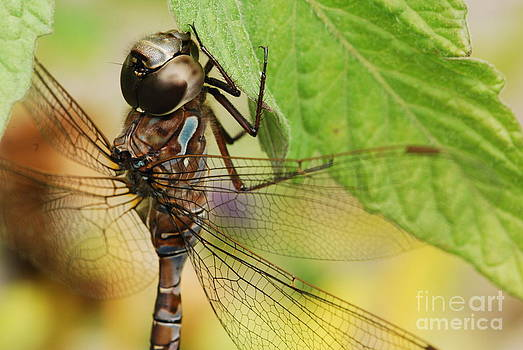Dragonfly at Rest by Evelyn Allen