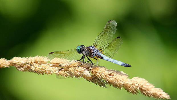 Rosanne Jordan - Dragonfly Balancing Act
