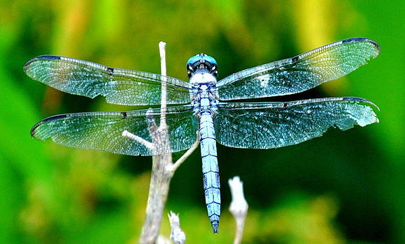 Dragonfly Blue by Leah Reynolds