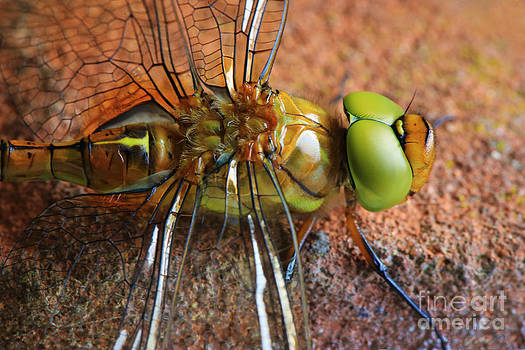 LHJB Photography - Dragonfly close-up